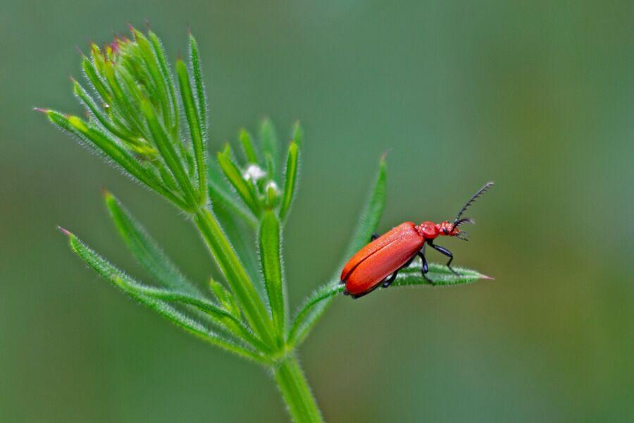 2. Cardinal Beetle