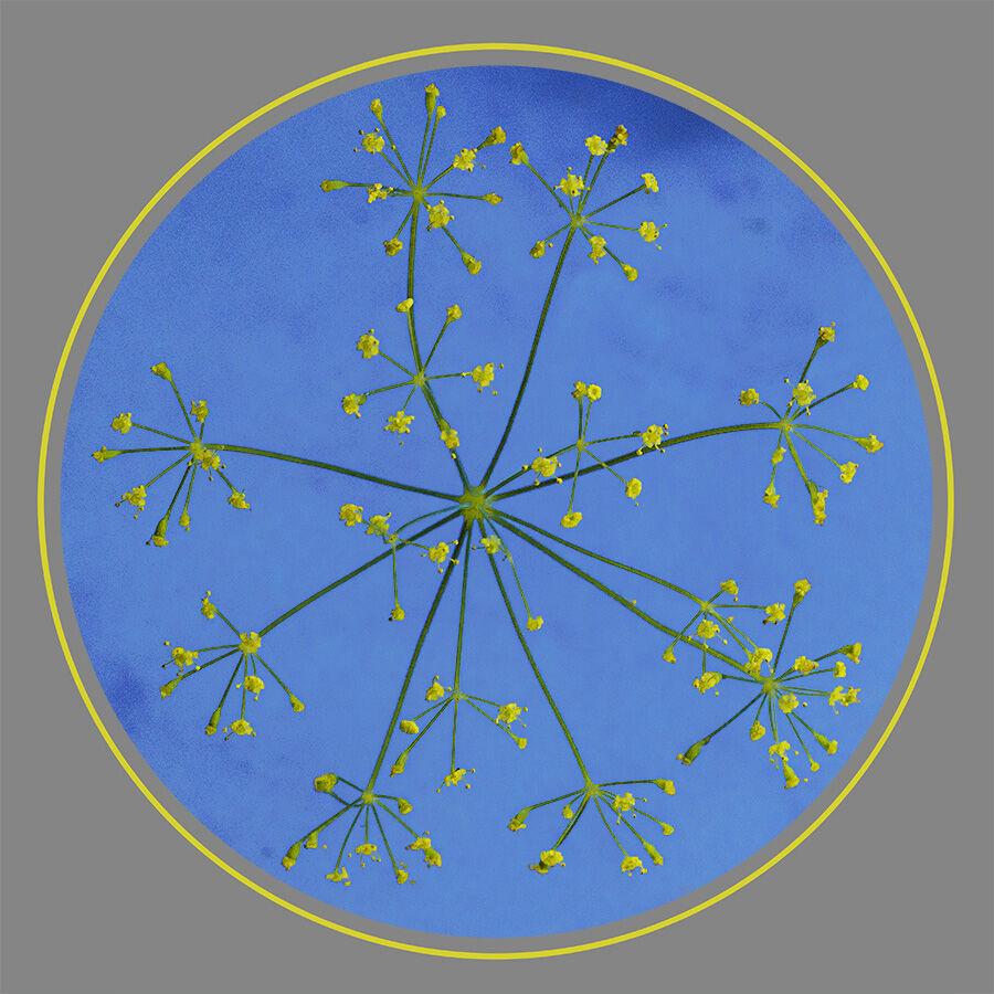 5. Fennel Flowerburst