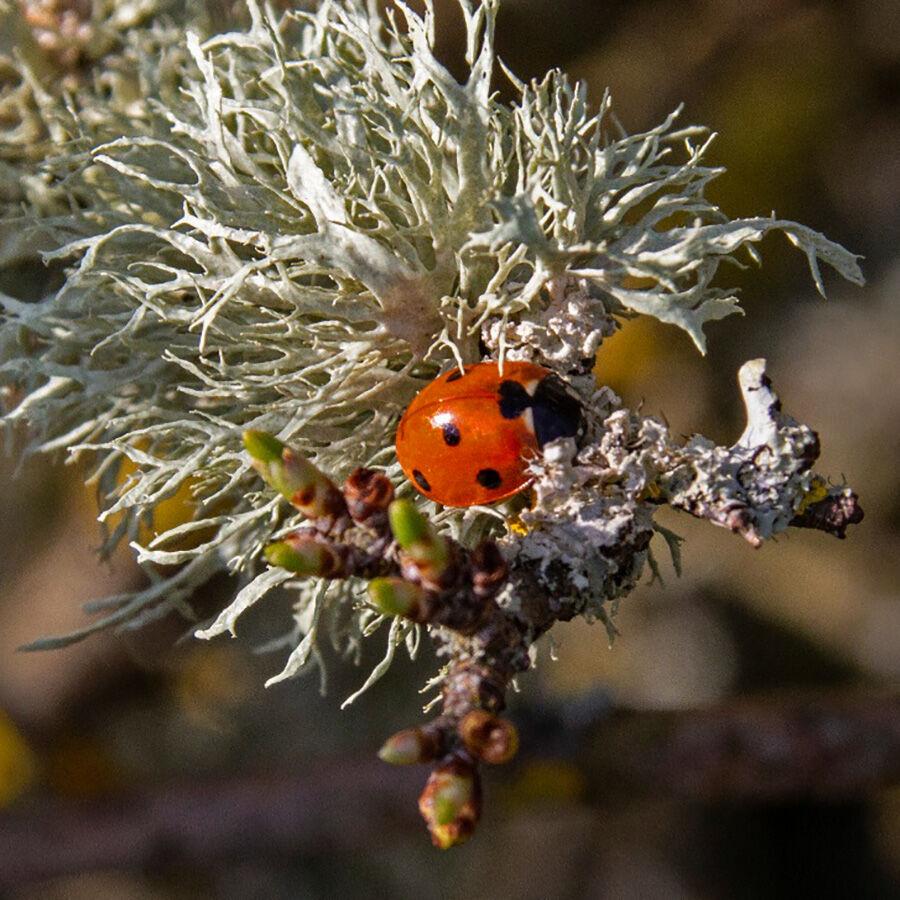 7. Ladybird and Lichen