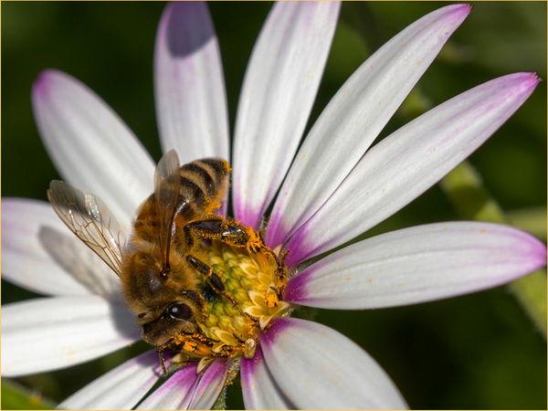 20/20 Bee on Osteospurmum- Peter Phillips