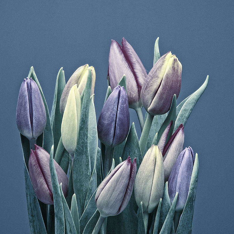 Cold tulips