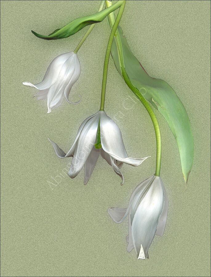 White tulpis