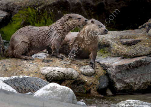 Otters on North Uist.