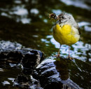 Grey Wagtail with insects.