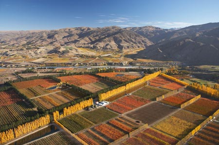 Orchard and Poplar Trees, Ripponvale, near Cromwell, Central Otago, South Island, New Zealand - aerial