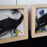 Magpie Wing Boxframes