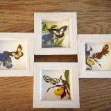 Pinned Butterfly Frames