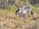 Wolf 755