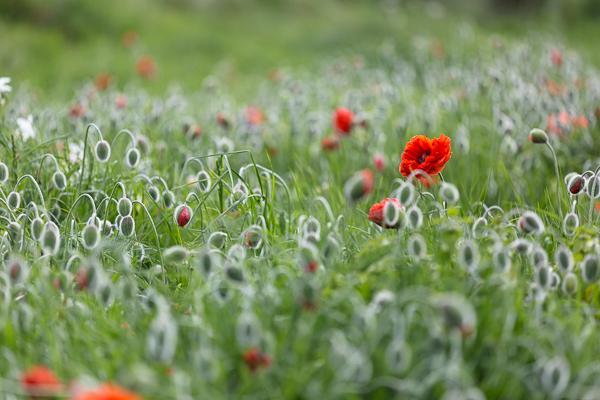 Poppies # 4