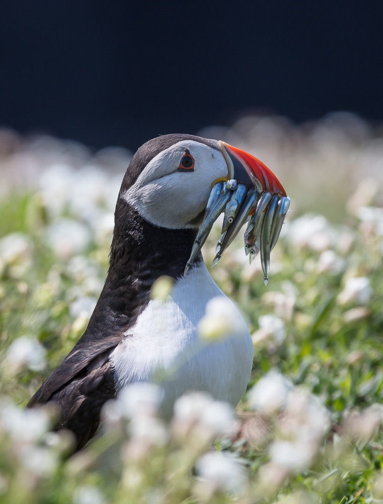 Puffin and sea campion