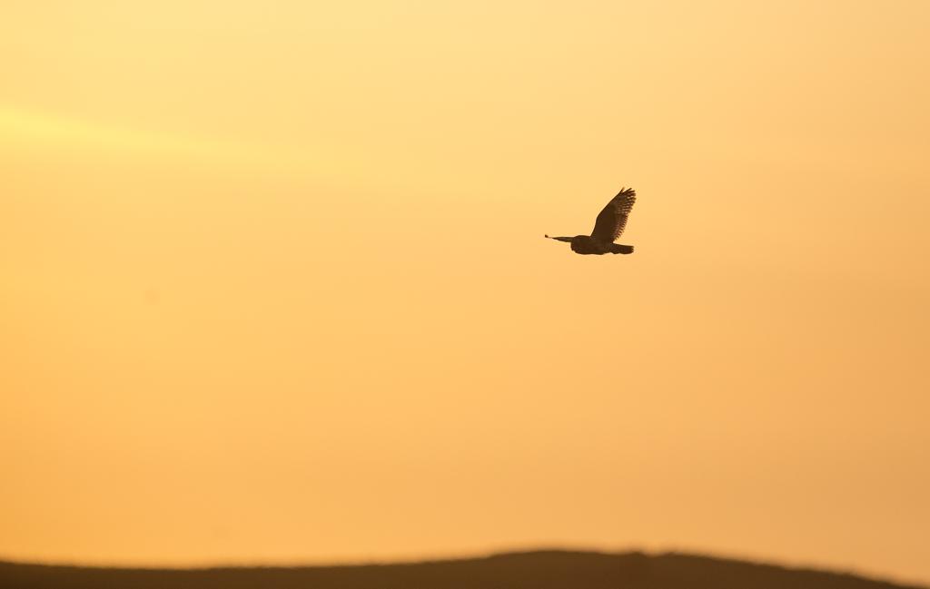 Short eared owl silhouette