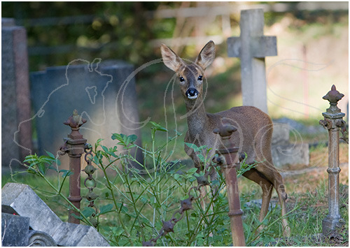 Young Roe deer in churchyard
