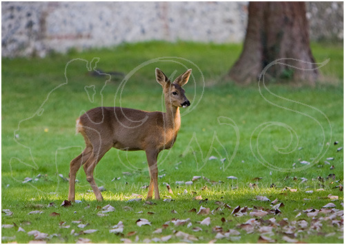 Young Roe deer in churchyard
