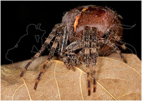 Female European Garden Spider