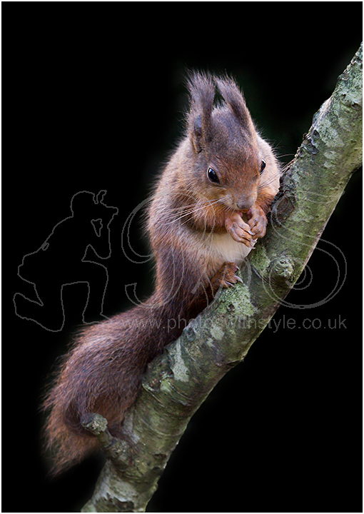 Red Squirrel Feedng