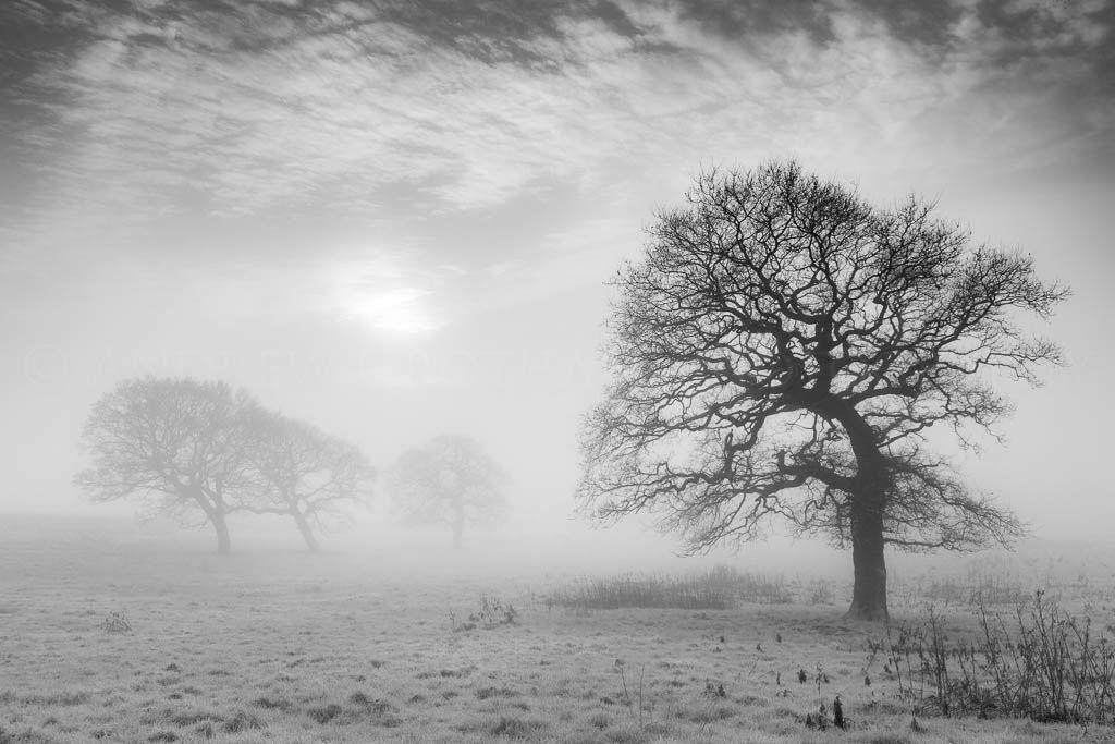 Winter oaks in the mist