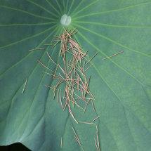 Lotus leaf and pine needles