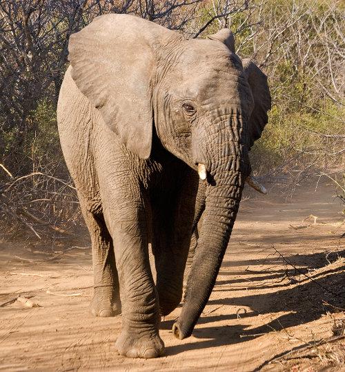 Challenging Elephant