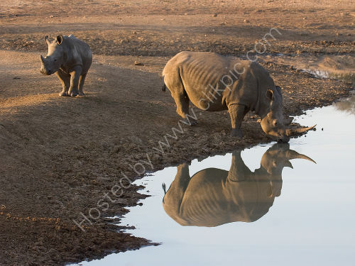 Rhino and Calf at Waterhole