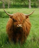 """Highland Cow"""