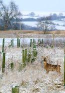 Roe buck in frosty morning