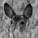 Roe fawn in corn