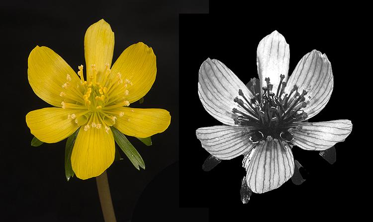 Winter Aconite (Eranthis sp.) in visible and UV light