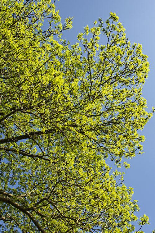 Ash tree: Fraxinus excelsior