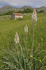 Asphodel in the Picos de Europa, northern Spain