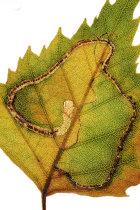 Birch Leaf Miner