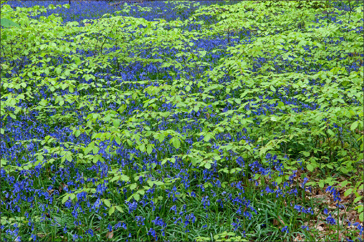 Bluebells with Beech leaves