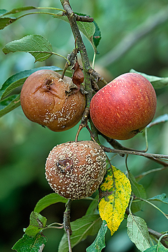 Brown Rot fungus on Cox Apple
