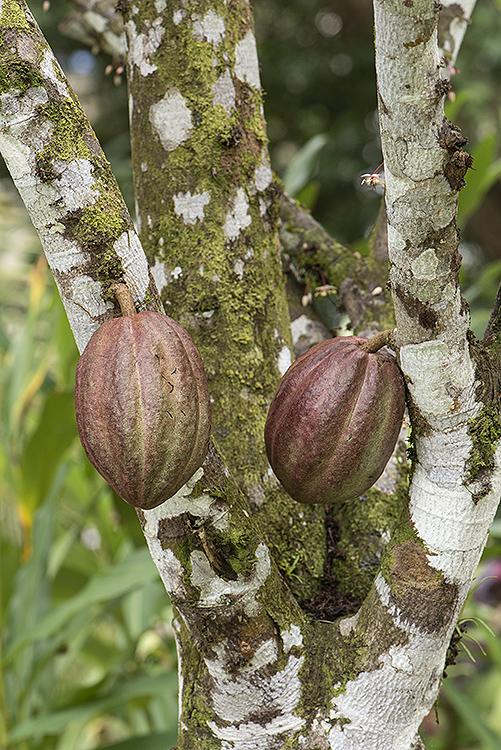 Cacao (Cocoa Tre)