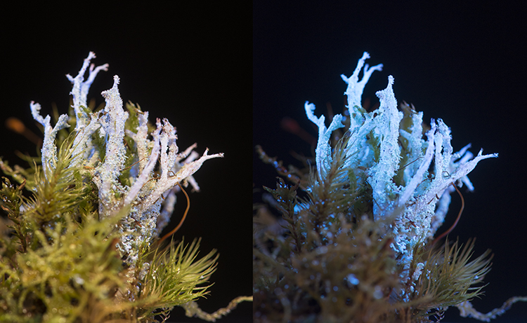 Lichen: Cladonia squamosa, from Snowdonia UK,  in visible light, and fluorescing in UV light