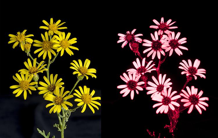 Common Ragwort: Senecio jacobaea, in visible and UV light.