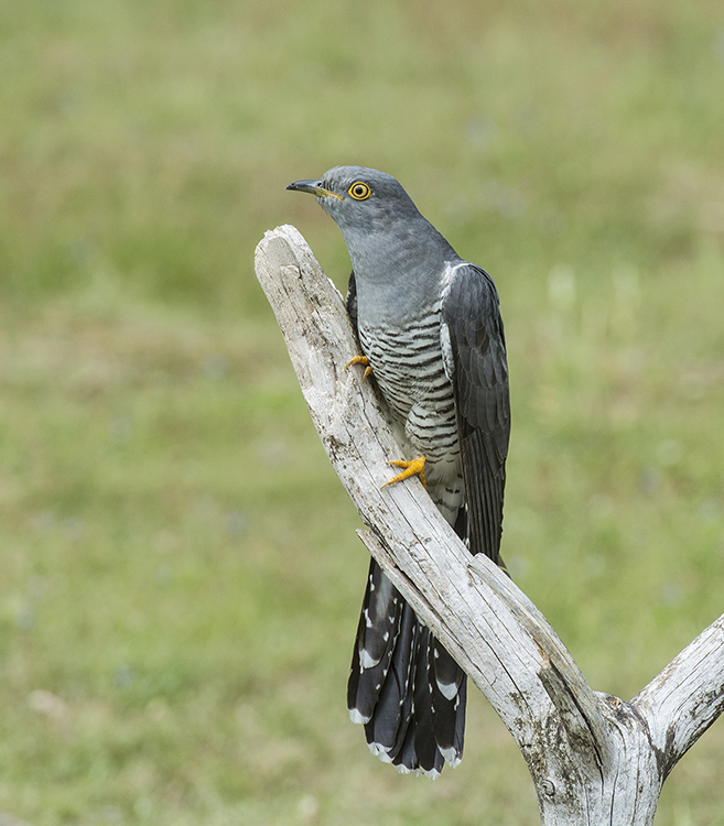 Cuckoo: Cuculus canorus. Surrey.