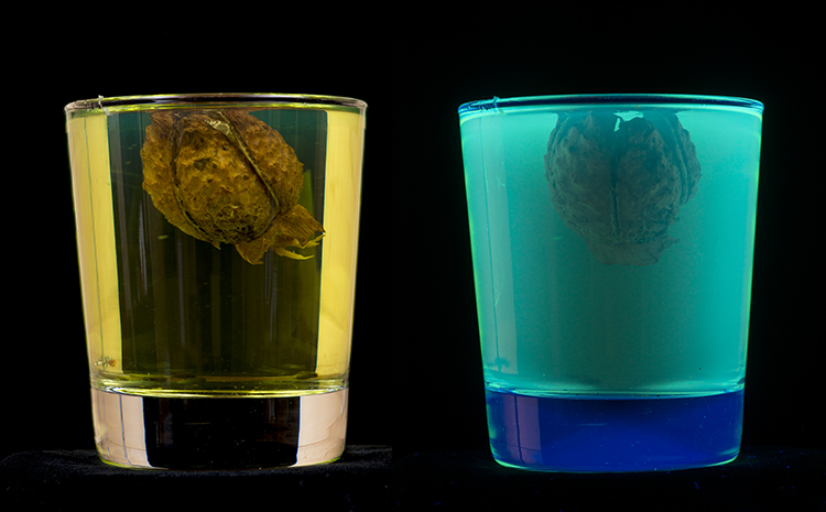 Seed pod of Thorn Apple: Datura sp. fluorescing under UV light when immersed in surgical spirit