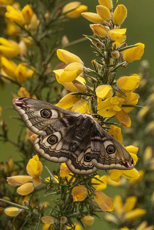 Female Emperor Moth (Saturnia pavonia)  Captive bred specimen.