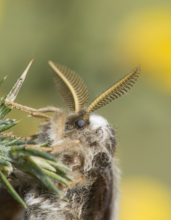Male Emperor Moth, showing antennae used to detect pheromone scent of female