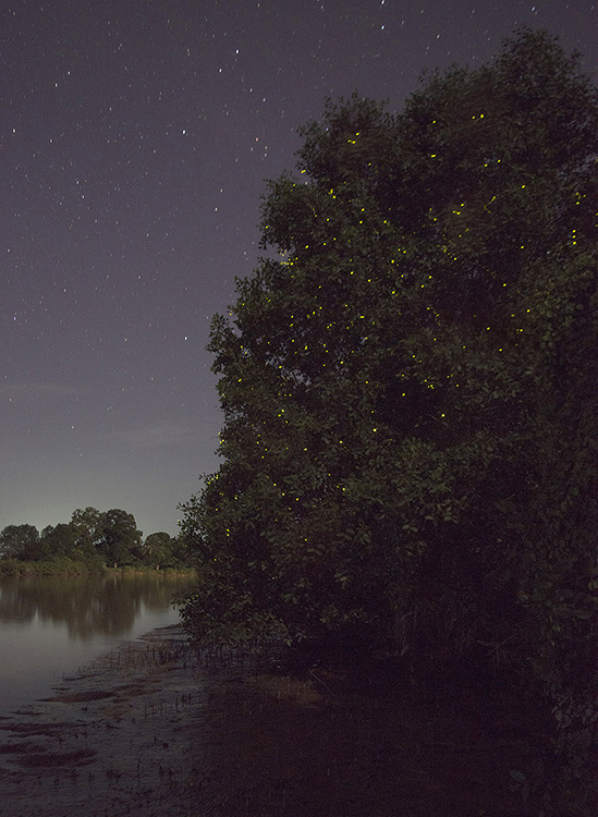 Fireflies in tree, Kinabatangan River, Sabah, Borneo