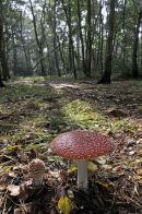 Fly Agaric Toadstool: Amanita muscaria