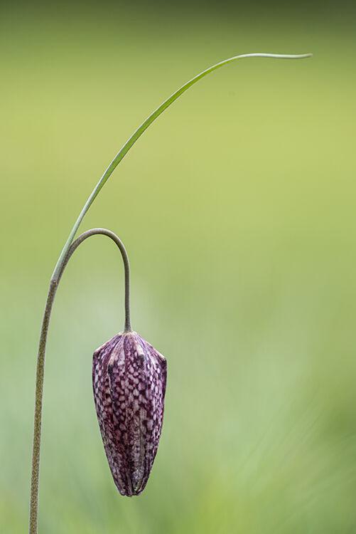 Snakeshead Fritillary (Fritillaria meleagris)