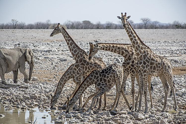 Giraffe at waterhole. Etosha, Namibia.