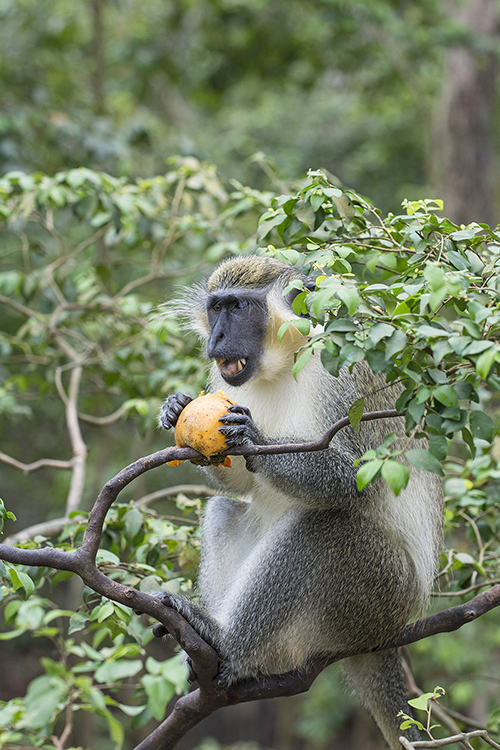 Green Monkey, Barbados