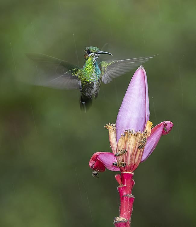 Green Crowned Brilliant Hummingbird: (Heliodoxa jacula)