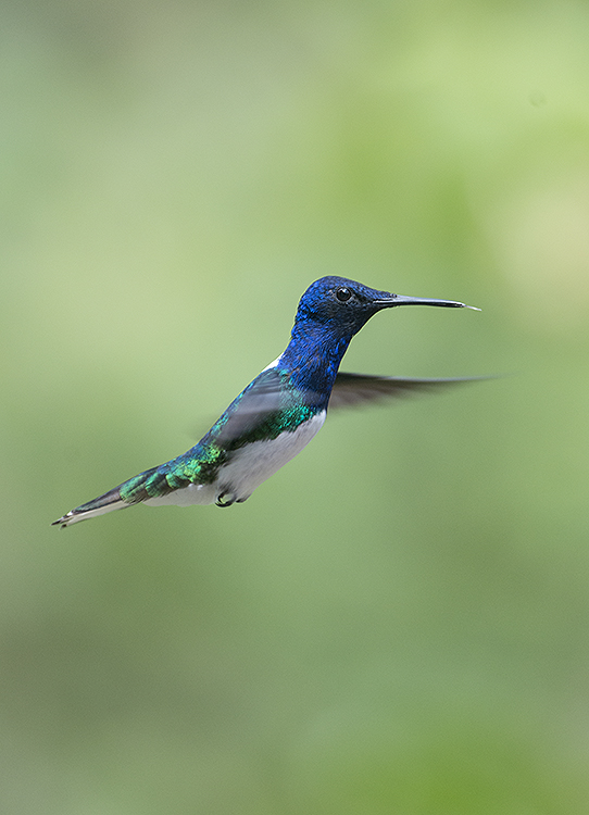 White-Necked Jacobin Hummingbird (male)