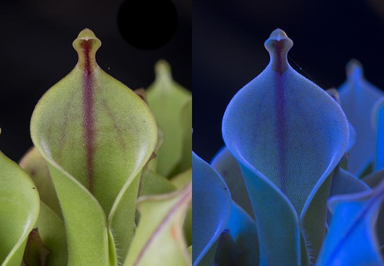 Carnivorous plant: Heliamphora nutans x heterodoxa, in visible light, and fluorescing in UV light.