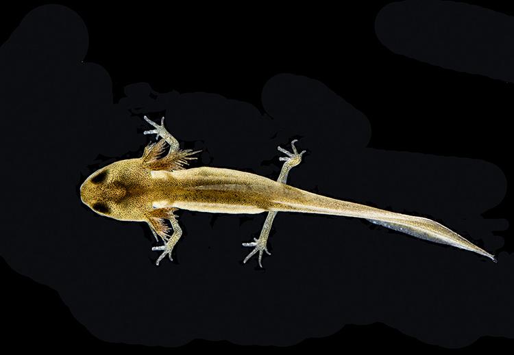 Immature Smooth Newt: Lissotriton vulgaris.