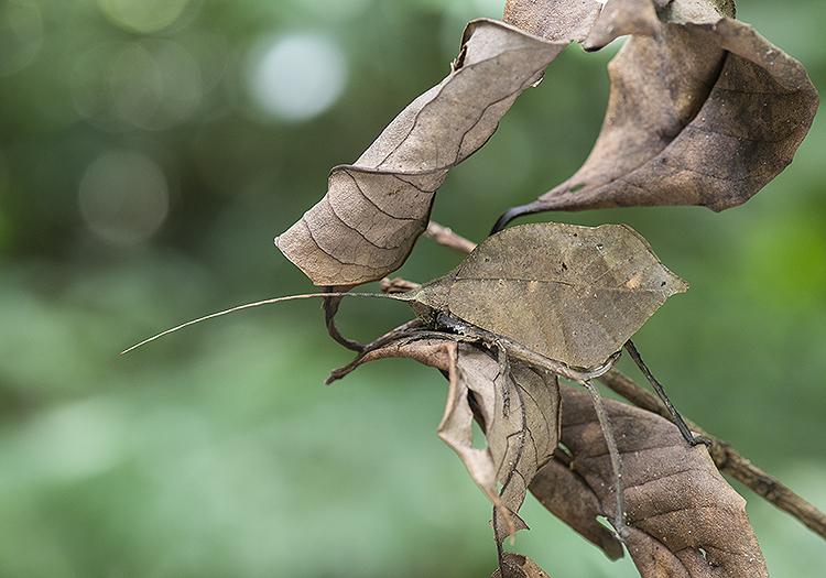 Leaf Mimic Katydid (Mimetica sp.)