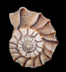 Lightning Whelk, Florida, USA